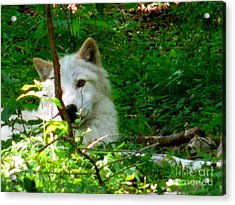 The Wild Wolve Group B Acrylic Print by Debra     Vatalaro