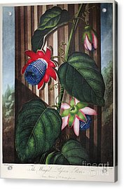 Thornton: Passion-flower Acrylic Print by Granger