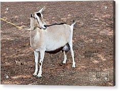 Transgenic Goat Acrylic Print by Inga Spence