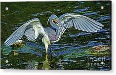 Tricolor Hunting Acrylic Print