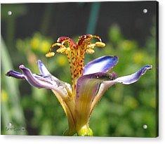 Tricyrtis Named Taipei Silk Acrylic Print