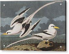 Tropic Bird Acrylic Print
