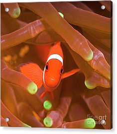 Tropical Fish Clownfish Acrylic Print