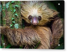 Two-toed Sloth Choloepus Didactylus Acrylic Print by Panoramic Images