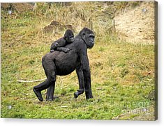 Western Gorilla And Young Acrylic Print by Jurgen & Christine Sohns/FLPA
