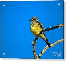 Western Kingbird Acrylic Print by Robert Bales