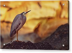 White-faced Heron At The Beach Acrylic Print
