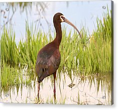 White Faced Ibis Acrylic Print by Dennis Hammer