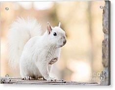 White Squirrel Acrylic Print by Vizual Studio