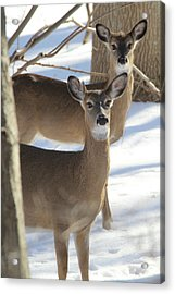 White Tailed Deer Smithtown New York Acrylic Print by Bob Savage