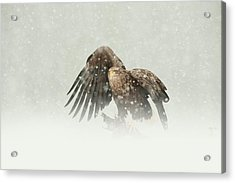 White-tailed Eagle Acrylic Print