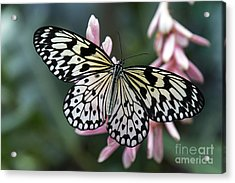 White Tree Nymph Butterfly Acrylic Print