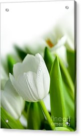 White Tulips Acrylic Print