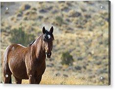 Wild Mustang Horse Acrylic Print
