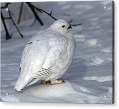 Willow Ptarmigan Acrylic Print by Doug Lloyd