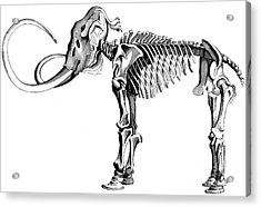 Woolly Mammoth Skeleton Acrylic Print