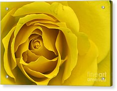 Yellow Rose Acrylic Print by Adrian LaRoque