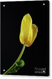 Acrylic Print featuring the photograph Yellow Tulip by Dariusz Gudowicz