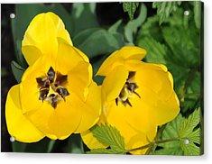 Yellow Tulips Acrylic Print by Patrick  Short
