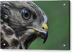 Young Red-shouldered Hawk Acrylic Print by Monteen  McCord