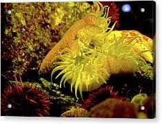 Sea Urchins Acrylic Print