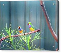Aussie Rainbow Lovebirds Acrylic Print