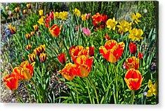 2015 Acewood Tulips 1 Acrylic Print