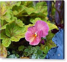 2015 After The Frost At The Garden Pansies 3 Acrylic Print by Janis Nussbaum Senungetuk