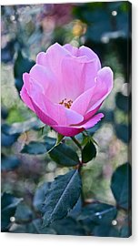 2015 After The Frost At The Garden Pink  Rose Acrylic Print by Janis Nussbaum Senungetuk