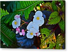2015 Early September At The Garden Begonias Acrylic Print