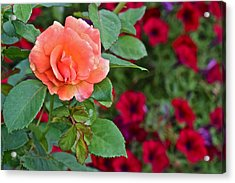 2015 Fall Equinox At The Garden Sunset Rose And Petunias Acrylic Print