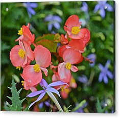 2015 Mid September At The Garden Begonias 2 Acrylic Print
