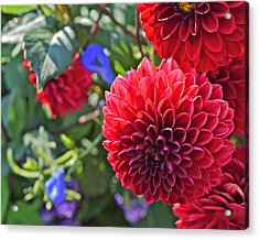 2015 Mid September At The Garden Dahlias 2 Acrylic Print
