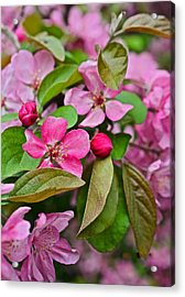 2015 Spring At The Gardens Pink Crabapple Blossoms 2 Acrylic Print