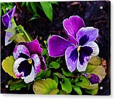 2015 Spring At Olbrich Gardens Violet Pansies Acrylic Print