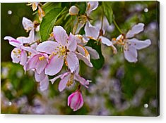 2015 Spring At The Gardens White Crabapple Blossoms 1 Acrylic Print