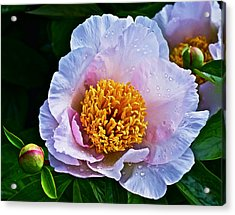2015 Spring At The Garden White Peony  Acrylic Print
