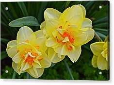 2015 Spring At The Gardens Tango Daffodil Acrylic Print