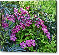 2015 Summer At The Garden Beautiful Clematis Acrylic Print by Janis Nussbaum Senungetuk