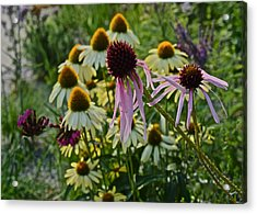 2015 Summer At The Garden Coneflowers Acrylic Print