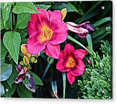 2015 Summer At The Garden Strawberry Candy Daylily 2 Acrylic Print