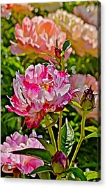 2015 Summer's Eve At The Garden Candy Stripe Peony Acrylic Print