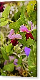 2015 Summer's Eve At The Garden Sweet Pea 2 Acrylic Print