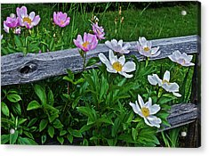 2015 Summer's Eve Neighborhood Garden Front Yard Peonies 2 Acrylic Print