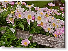 2015 Summer's Eve Neighborhood Garden Front Yard Peonies 3 Acrylic Print