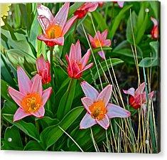 2016 Acewood Tulips 2 Acrylic Print