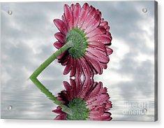 Nice Gerber Acrylic Print