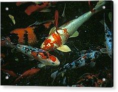 The Koi Pond Acrylic Print by Marc Bittan
