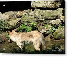 Acrylic Print featuring the photograph The Wild Wolve Group A by Debra     Vatalaro