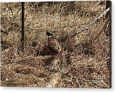 Ring-necked  Pheasant  Acrylic Print by Lori Tordsen